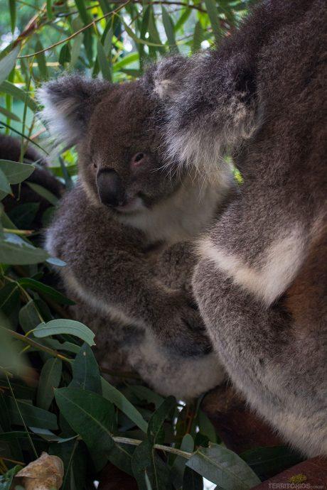 Filhote de coala acordado