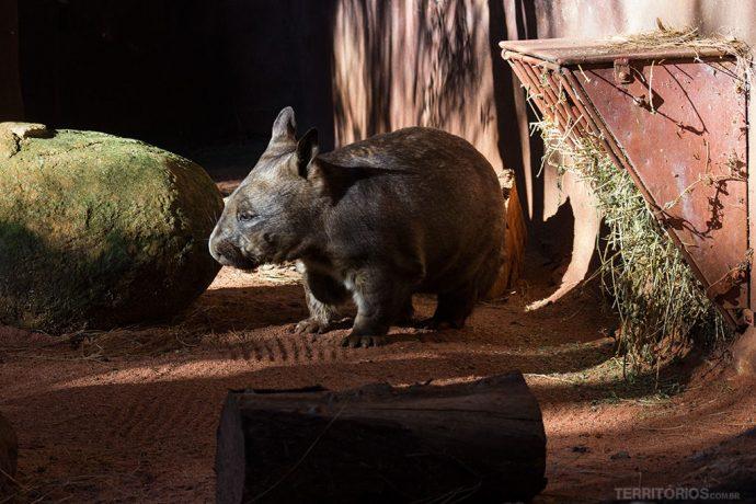 Wombat é endêmico da Austrália
