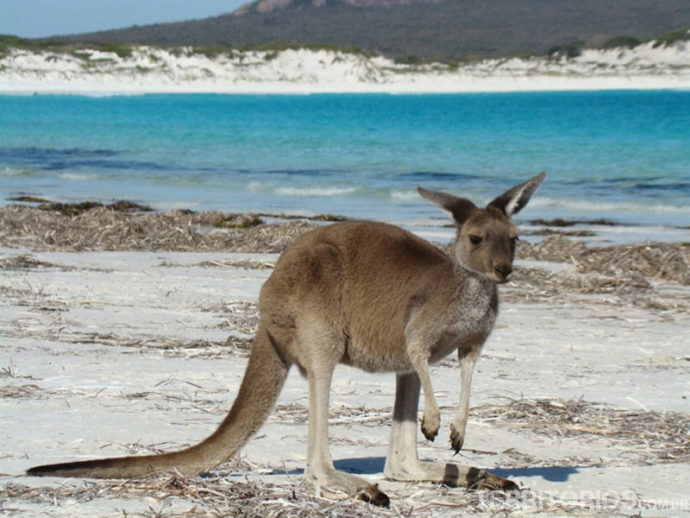 Canguru selvagem no Camp Le Grand National Park, Esperance, Austrália Ocidental (WA)
