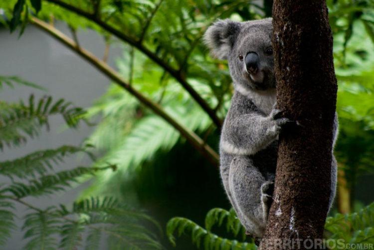 coala taronga zoo
