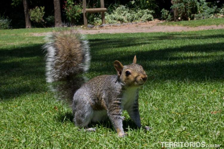 Esquilo Curioso