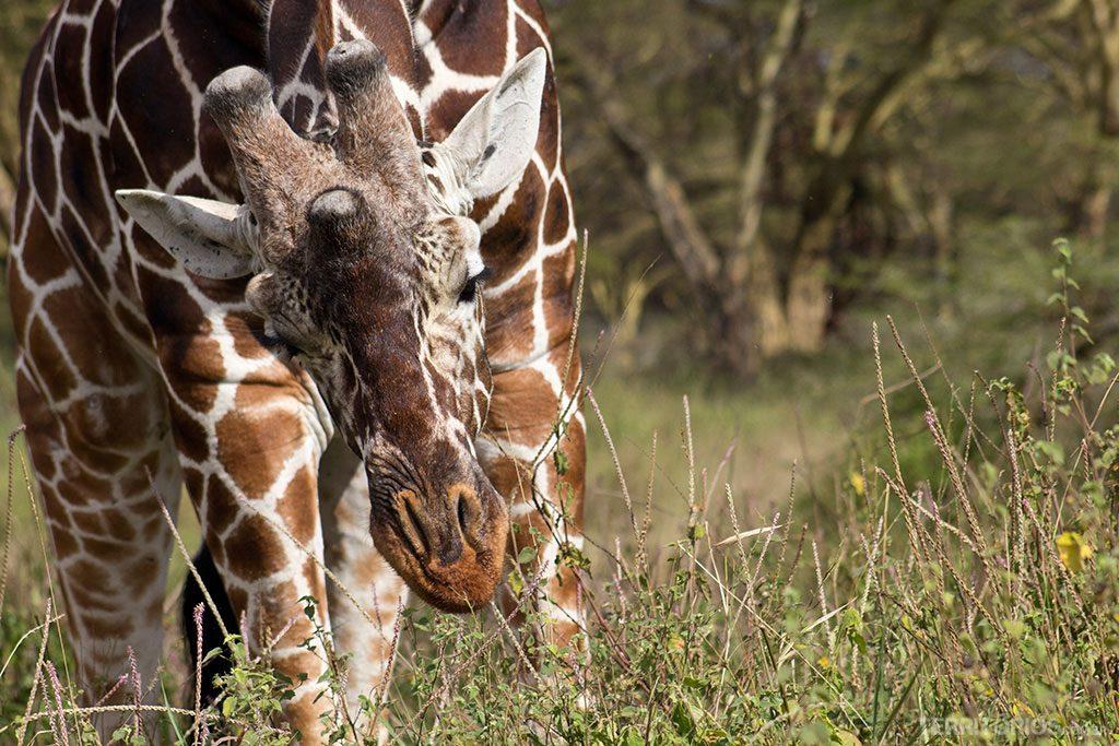 Girafa em Lewa
