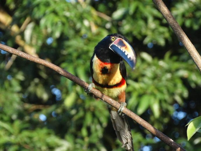 Tucano na Costa Rica