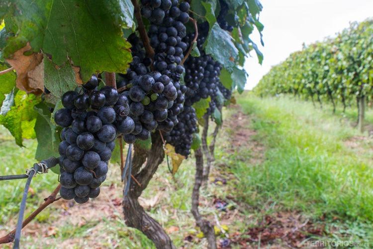 vinos da campanha
