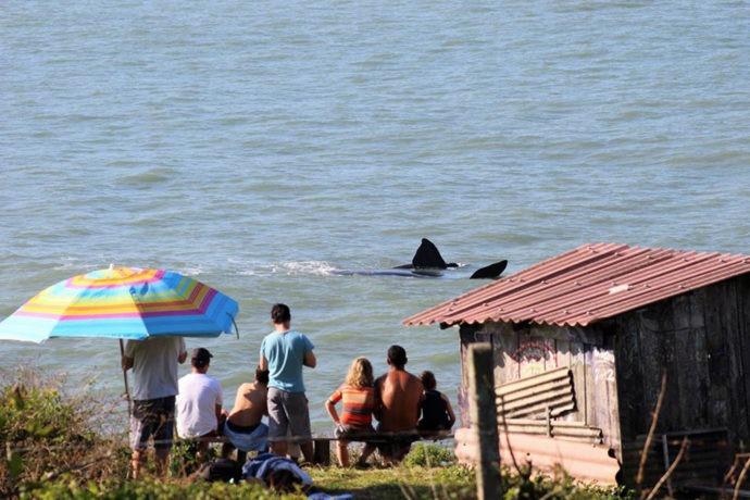 Avistamento de baleia franca em terra. Foto de Julio César Vicente