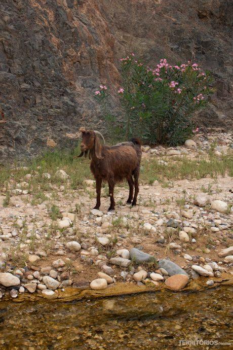 Cabra no caminho
