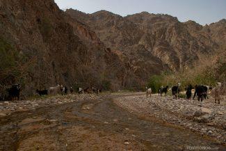 Cabras no fim da trilha