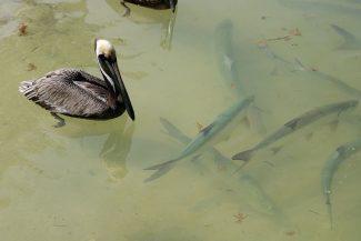 Pelicano e tarpoon