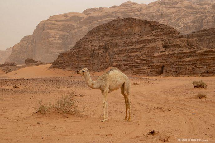 Filhote de dromedário no deserto Wadi Rum. Perfeito para viajar em outubro