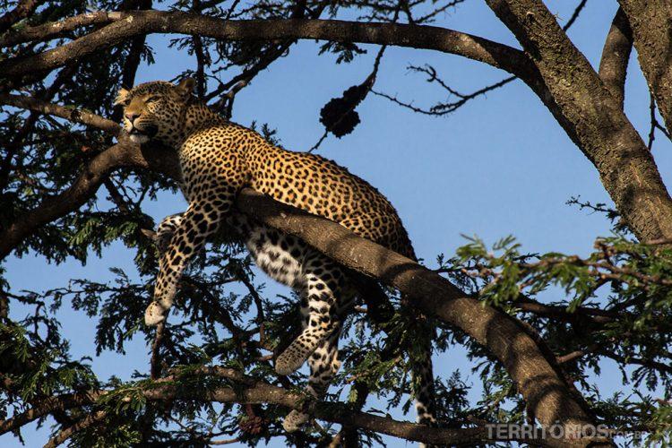 Leopardo muito perto em Maasai Mara