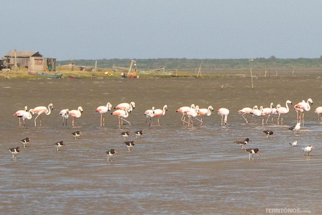Os famosos flamingos, pirupirus, talha-mar e gaivota na Barra da Lagoa