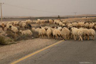 Ovelhas nas estradas da Jordânia