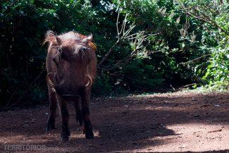 animais africanos: javali