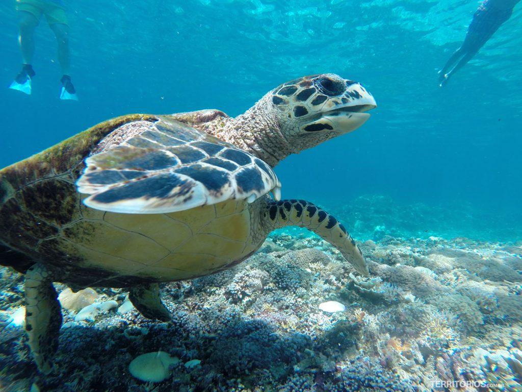 Tartaruga marinha vista durante snorkel em Gili T