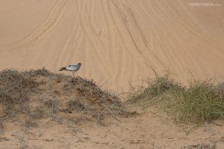 Pássaro pale-chanting goshawk