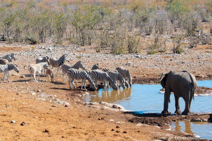 Elefante e zebra no Parque Nacional Etosha