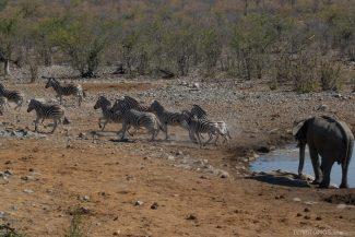 Elefante afastas as zebras no Parque Nacional Etosha