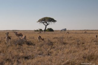 Antílopes na savana africana da Namíbia