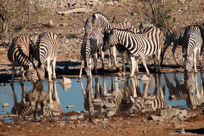 Zebras no lago em Halali, Etosha