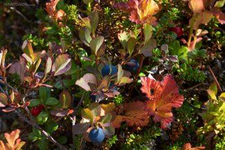 Berries em Dalarna