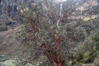 Frutinhas na copa das árvores endêmicas