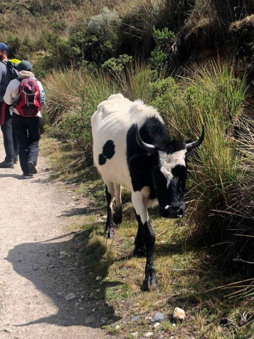 Vacas no caminho