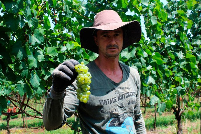 O viticultor Tarcísio na colheita das uvas Chardonnay em Pinto Bandeira